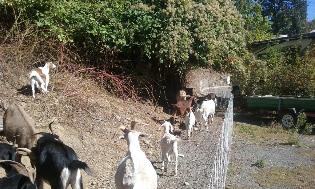 goats-removing-blackberries-along-trail-near-sellwood-bridge
